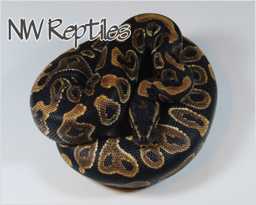 Image of Yellow Belly Ball Python