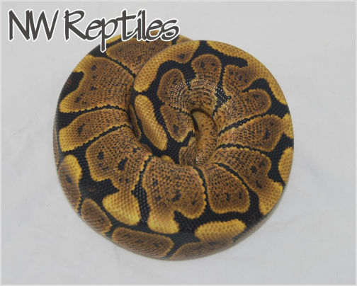 Image of Woma-Black Pastel Ball Python