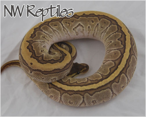Image of Jigsaw Ball Python
