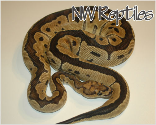 Image of Clown Ball Python