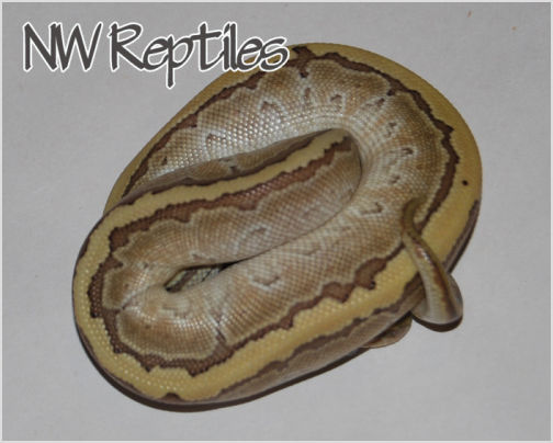 Image of Butter Pinstripe Ball Python