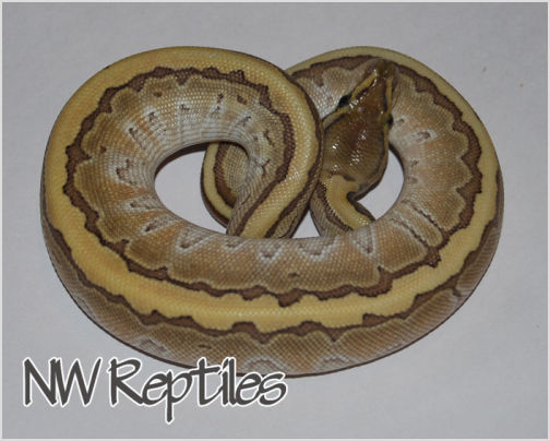 Image of Butter Pin Ball Python