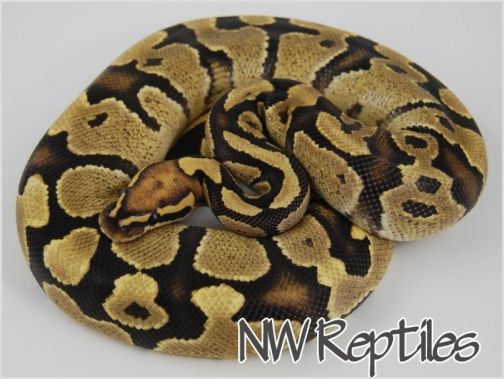 Image of Fire Ball Python