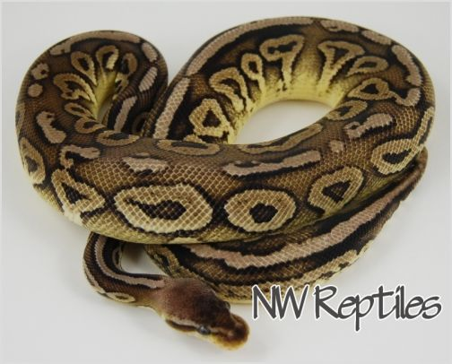 Image of Cinnamon Pewter Ball Python