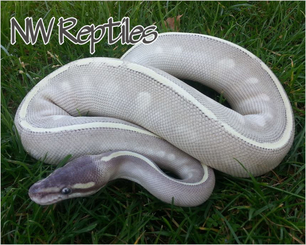 Pastel mystic ball python - photo#24