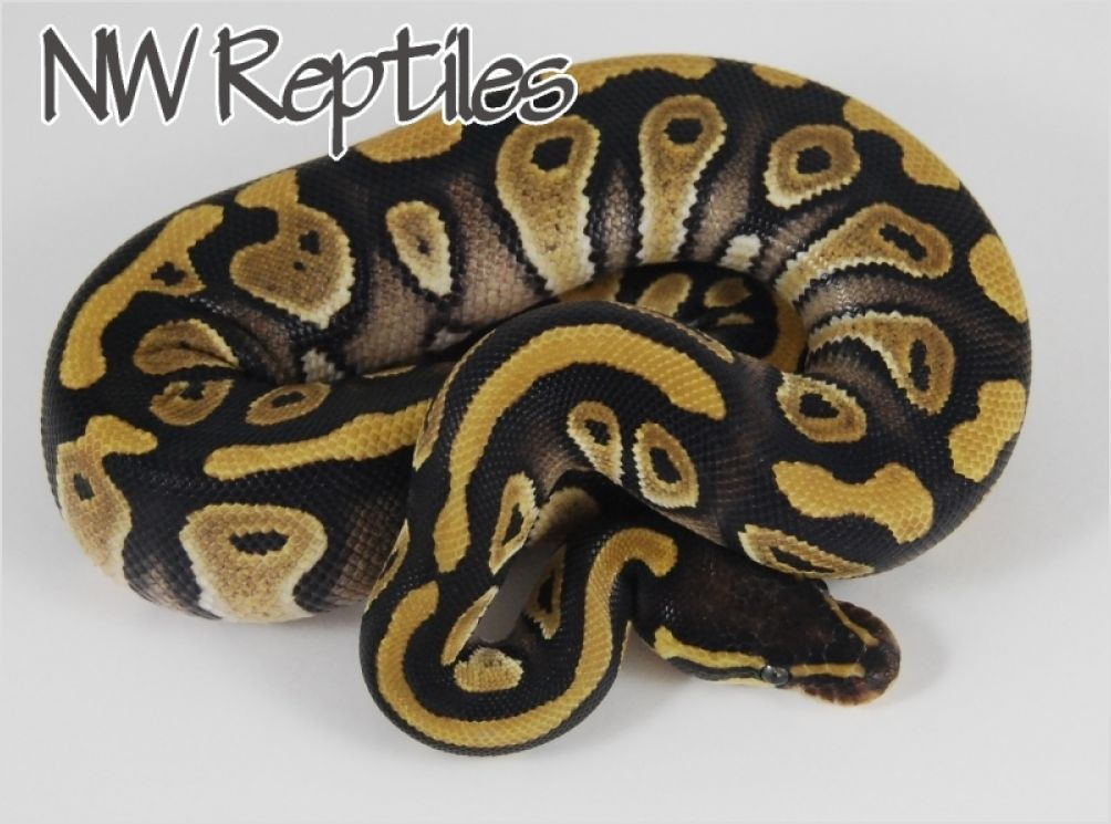 Pastel mystic ball python - photo#22