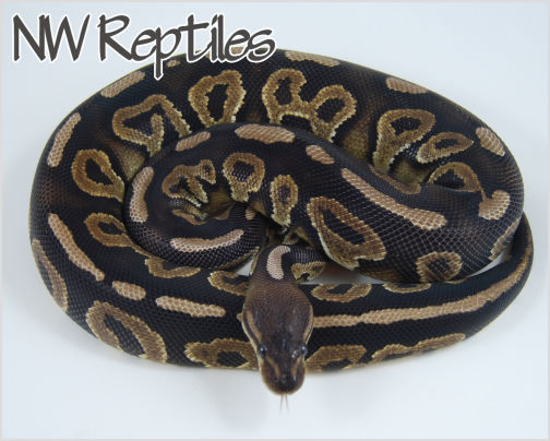 Image of Cinnamon Pastel Ball Python