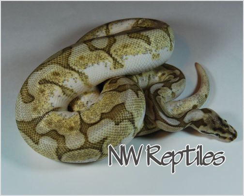 Image of Lesser Bee Ball Python