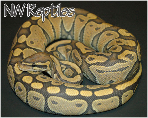 Image of Orange Ghost Ball Python