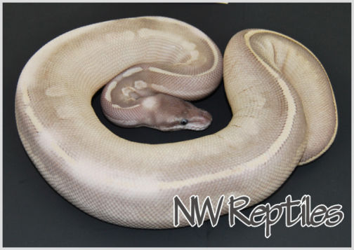 Image of Mystic Potion Ball Python