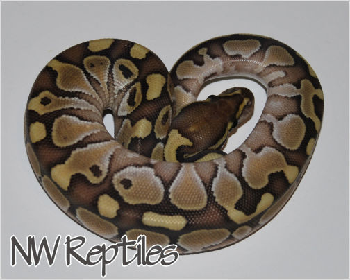 Image of Butter Ball Python