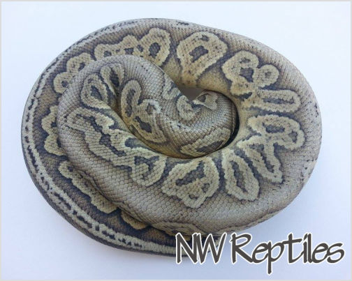 Image of Black Pewter Hypo Ball Python
