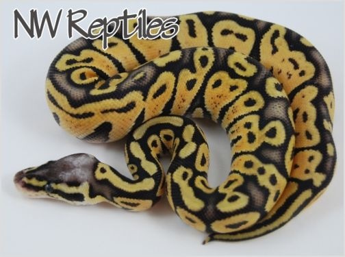Image of Super Pastel Ball Python