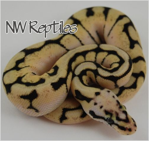 Image of Bumble Bee Ball Python