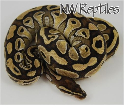 Image of Lesser Platinum Ball Python