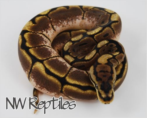 Image of Spider Ball Python