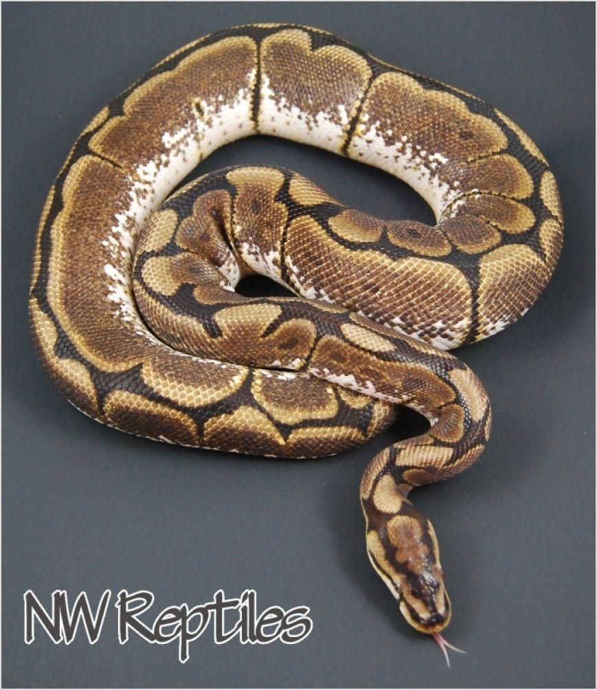 Northwest Reptiles - Ball Python breeder