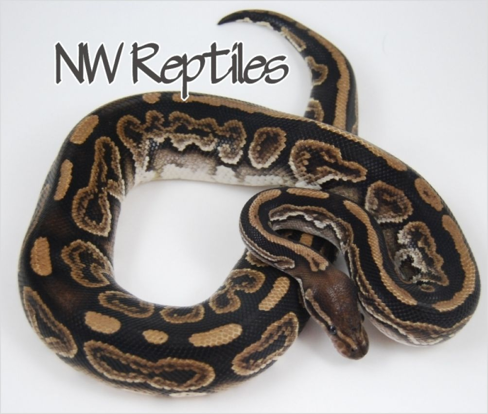 Northwest Reptiles - Black Pastel Ball Python Description